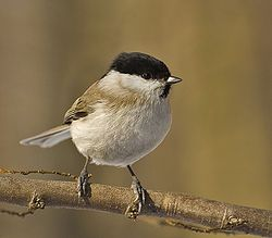 Marsh Tit, found in Temperate Europe