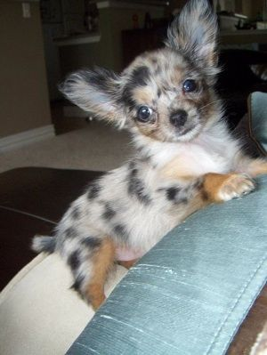 i love merle chihuahuas. I don't normally like chihuahuas but this little guy is killing me he is so cute!