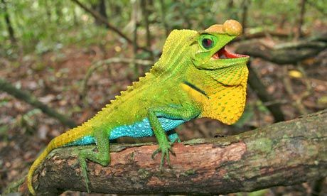 Lyriocephalus scutatus, another lizard species on threatened list. Photograph: Ruchira Somaweera/IUCN/ZSL