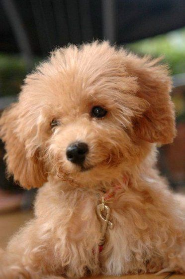Adorable Little Poodle Puppy                                                                                                                                                                                 More