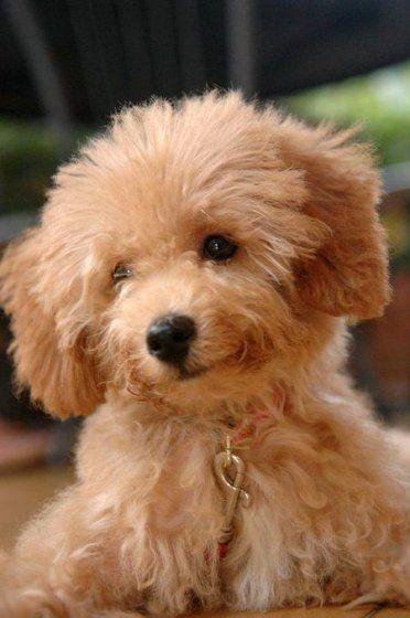Adorable Little Poodle Puppy