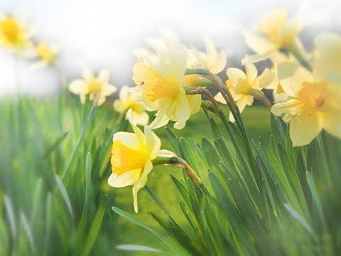 Нарциссы весной можно пересадить, посмотрите! - YouTube