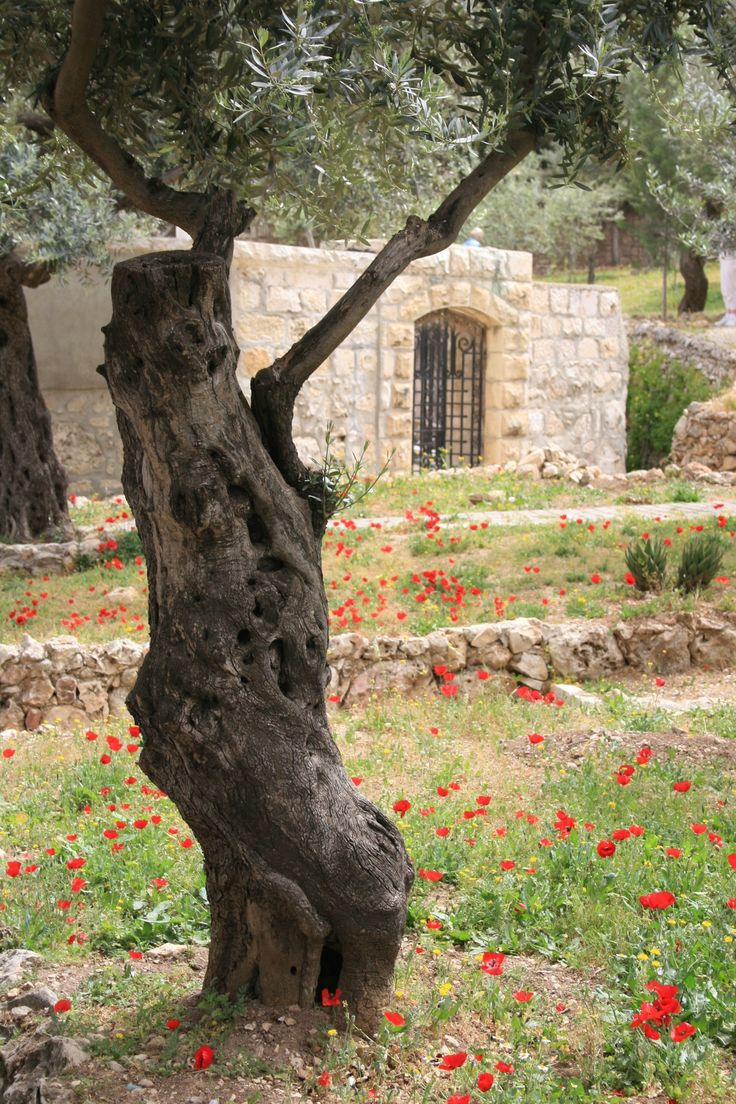 Garden of Gethsemane. Gethsemane is at the foot of the Mount of Olives in Jerusalem, most famous as the place where Jesus prayed and his disciples slept the night before Jesus' crucifixion.