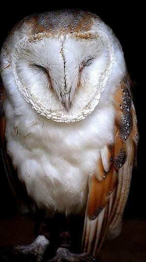 Barn owl | Chouette, effraie des clochers                                                                                                                                                                                 Plus