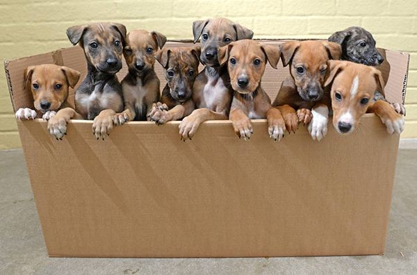 Meet the Downton pups! Nine six-week-old #puppies have been rescued by Blue Cross after they were abandoned in a box in a Southampton park. We've named them after the cast of #Downton #Abbey to help them find homes. #dogs http://bluecross.org.uk/478-120574/downdog-abbey---nine-abandoned-lurcher-pups-taken-in-by-blue-cross.html