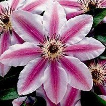 """Clematis """"Nelly Moser""""    This looks lovely growing with my """"Vino"""" clematis.  It has proven to be quite hardy.  I was convinced it was dead one Fall, but grew back even more vigorous the next Spring!"""