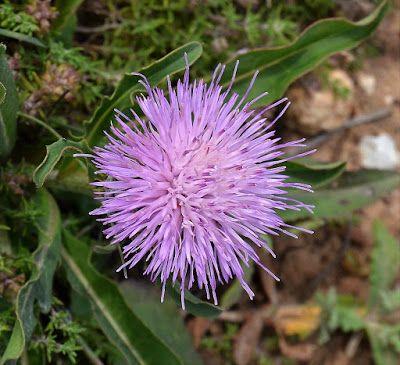 Klasea baetica subsp. lusitanica