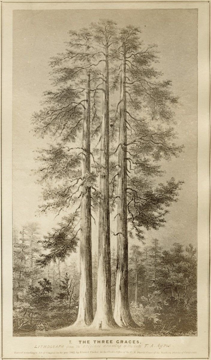 Giant sequoia (Sequoiadendron giganteum) illustration  1862; The Forest Trees of California; by Edward Vischer; Agnew and Deffebach; San Francisco; Courtesy of the California Academy of Sciences Library; R2015.0709.021