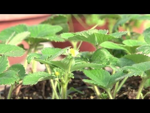 How to grow strawberries inside
