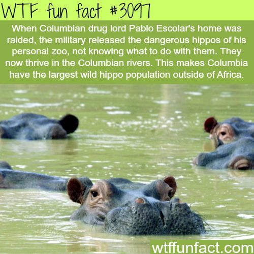 25+ best ideas about Facts about hippos on Pinterest | Hippo facts ...