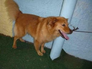 No longer available. A1324230 IS IN DANGER AT SOUTH LA is an adoptable Golden Retriever Dog in Beverly Hills, CA. SCARLET - ID#A1324230 My name is Scarlet and I am a spayed female, red and white Golden Retriever mix. The ...