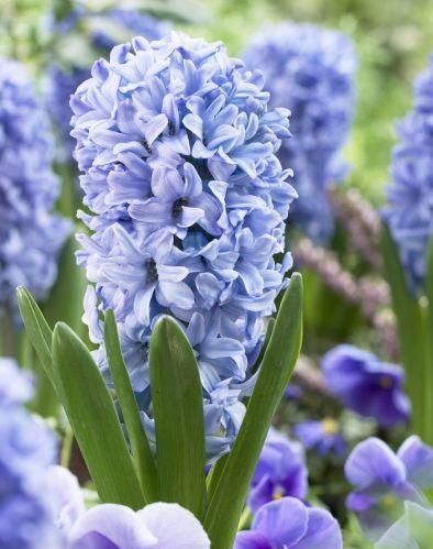 HyacinthDelft Blau
