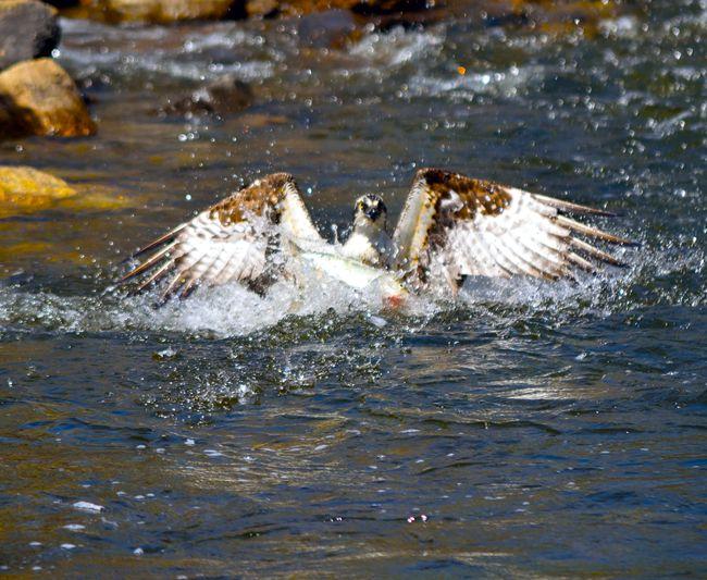 11 best maine wildlife images on pinterest maine for Maine fish wildlife