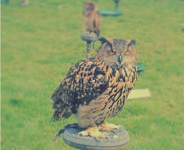 Photogenic owl :p