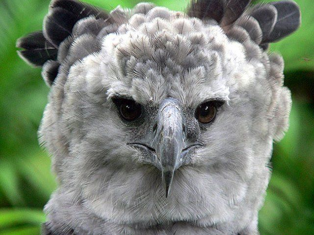 American Harpy Eagle | Harpy Eagle Photos, Harpy Eagle Information
