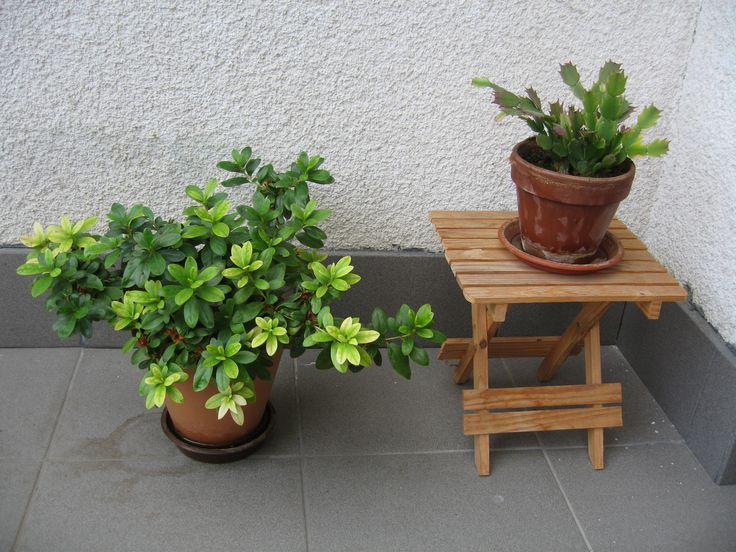 Azálea, kaktusz