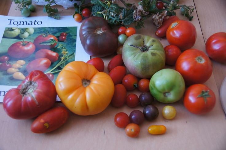 Check out all these different shapes, sizes and colors of tomatoes!Well Afer, Healthy Happy, Hanover Tomatoes, Fresh Seasons, Seasons Produce, Tomatoes Festivals, Kids Gardens, Afer Schools, Happy Children