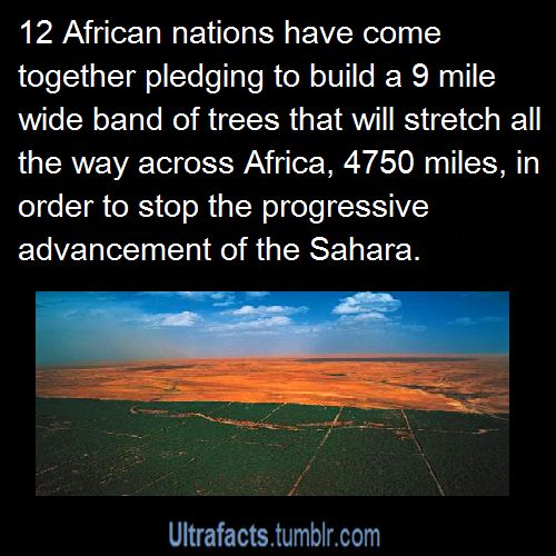 """Oh yes, acacia trees.  They fix nitrogen and improve soil quality.  And, to make things fun, the species they're using practices """"reverse leaf phenology."""" The trees go dormant in the rainy season and then grow their leaves again in the dry season. This means you can plant crops under the trees, in that nitrogen-rich soil, and the trees don't compete for light because they don't have any leaves on.  And then in the dry season, you harvest the leaves and feed them to your cows.  Crops grown…"""