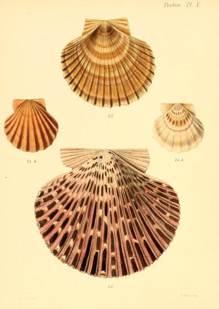 Conchologia iconica #seashells #shells #scientific #illustration