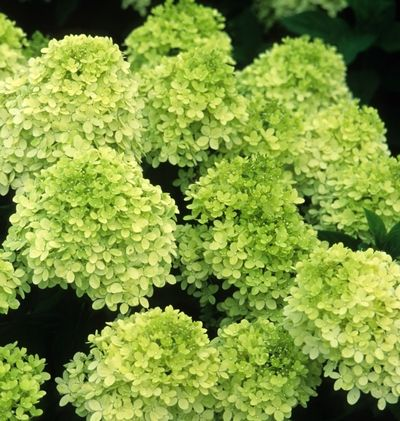 """limelight hydrangea (Hydrangea paniculata """"Limelight"""")  Seen here in it's """"lime"""" color when the flowers first open.  As the flowers mature they become white and then, in the fall, they turn pink!"""
