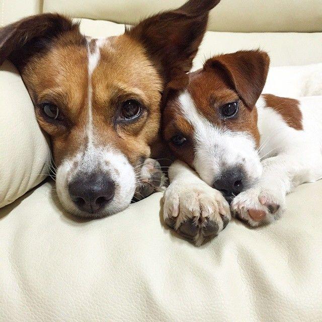 1364 besten niedliche bilder bilder auf pinterest hunde haustiere und jack russell terrier. Black Bedroom Furniture Sets. Home Design Ideas