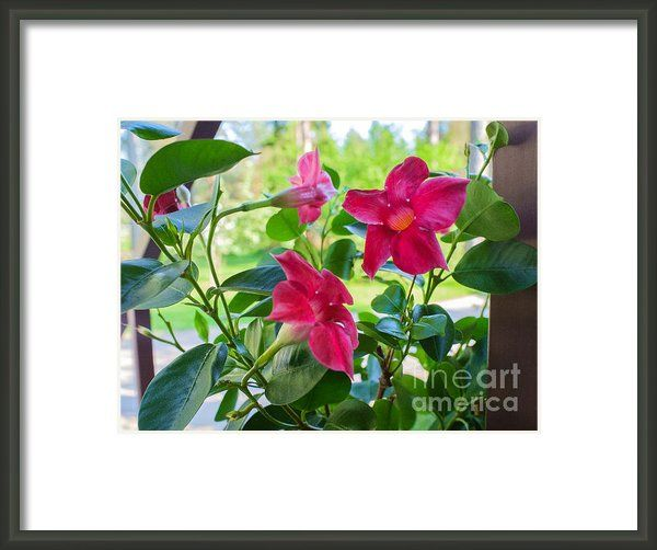 "Mandevilla - Like A Star by Ismo Raisanen. The watermark (""Fine Art America"") doesn't appear in the print you buy."