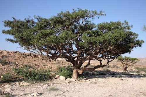 Young Living is the first and only company in the world to obtain permission to distill and export Sacred Frankincense in Oman and bring it into the Western world. Boswellia sacra trees in Oman have been harvested for the past 5,000 years. Today, they are harvested in the same way and on the same schedule as their ancestors. The limestone cliffs of the Dhofar Mountains provide the perfect environment for growing Boswellia sacra.