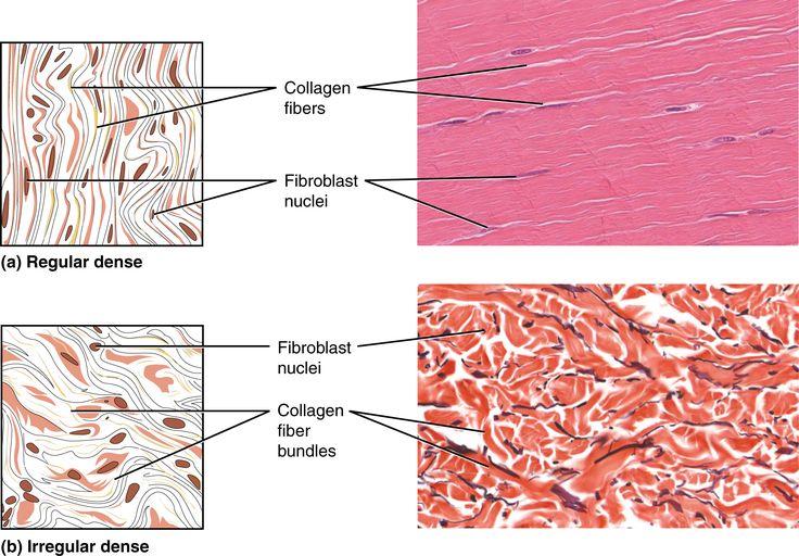part a shows a diagram of regular dense connective tissue. Black Bedroom Furniture Sets. Home Design Ideas