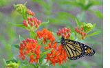 Here at Butterfly Encounters we are encouraging everyone to plant milkweed seeds for the monarch butterfly. The caterpillar stage of the monarch butterfly feeds on milkweed plants. As land is developed and milkweed populations diminish, the monarch butterflies habitat is lost.