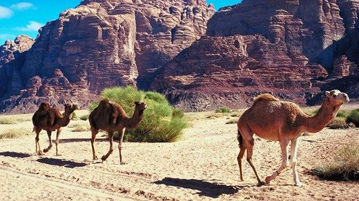 Camels walking in the sand in Jordan #kilroy #middle #east #travel #backpacking #animals