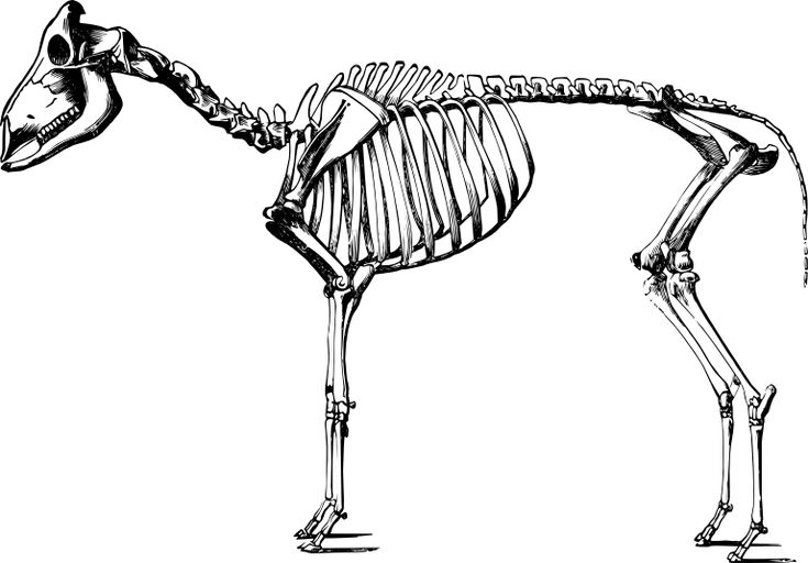 sheep skeleton from theobald agricultural zoology