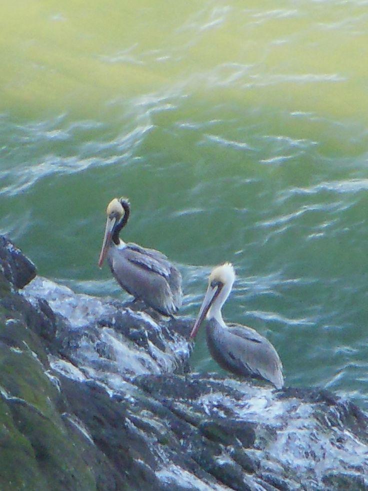 Pelicans on rocky shore on Oregon Coast.