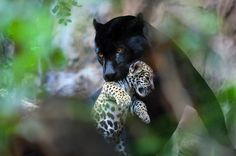 Onça-preta (Panthera onca)  Antes vistas como espécies diferentes a onça-preta e a onça-pintada possuem o mesmo código genético. Indivíduos melânicos são mais comuns em florestas densas, como a Amazônia. Eles têm uma alta quantidade de melanina na pele e nos pelos (característica apresentada por algumas espécies de felinos). O nome pantera-negra é utilizado para animais melânicos do gênero Panthera.