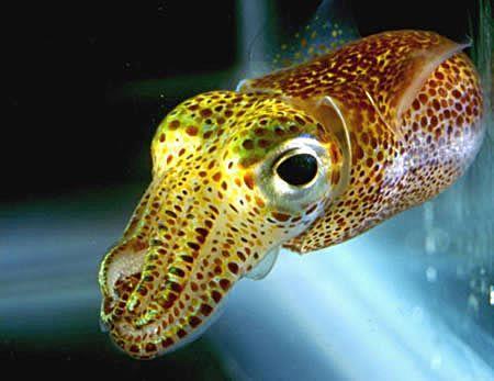 """Este #calamar hawaiano (Euprymna scolopes) vive en las aguas del Pacífico. Posee propiedades #bioluminiscentes gracias a las colonias de bacterias Vibrio fischeri que residen en varios de sus órganos, y así mantenerse a salvo de sus depredadores. Los calamares recién nacidos no pueden producir #luz hasta horas después que toman esta bacteria.   Así pues, el calamar ofrece un festín de nutrientes a sus """"amigas"""" para que le presten sus servicios de #iluminación nocturna."""
