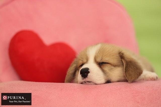画像E: バレンタインだワン~/犬 イヌ dogs  (ネスレ日本)