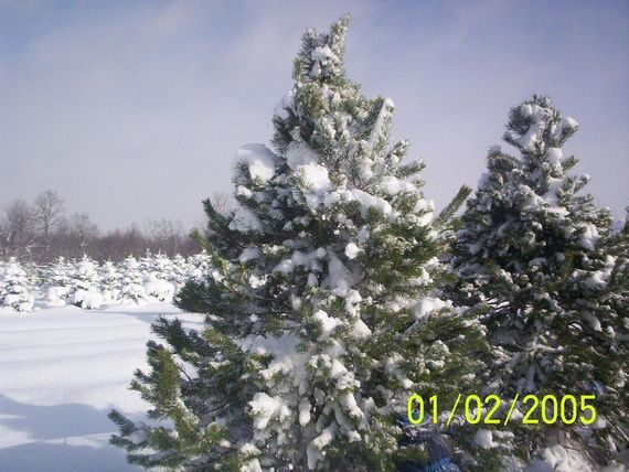 Christmas Questions and Answers! Is the Christmas tree a Christian symbol and more facts.