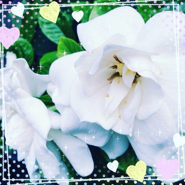くちなしの花 大好きな香り 真っ白な花もだんだんと黄色に もうこの香りの季節になったんだと ついつい足を止めてその香り胸いっぱいに Kanako No41 アロマ調香女子 アロマ くちなしの花 白い花 香り 白い花 アロマ 香り