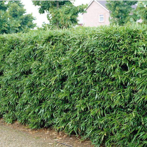 Awesome Bambushecke jetzt g nstig in Ihrem MEIN SCH NER GARTEN Gartencenter schnell und bequem online bestellen