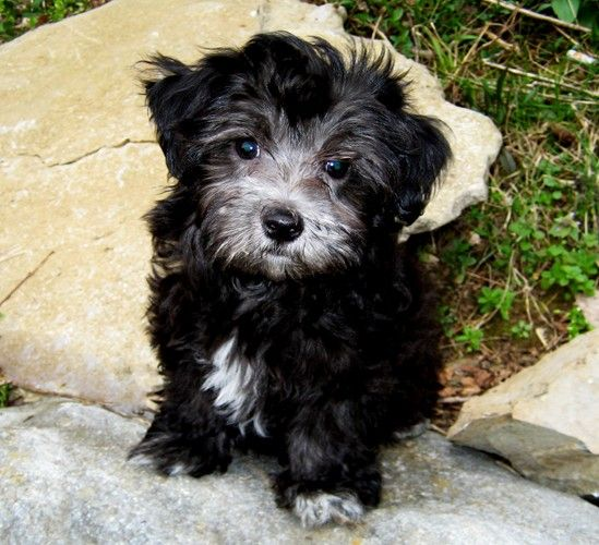 Maltipoo Full Black Google Search Maltipoo Pinterest