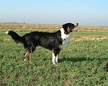 English Shepherd - This is the kind of dog I have- and he looks almost exactly like the one in this photo. :)