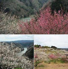 奈良の東部に位置する梅の名所月ヶ瀬  月ヶ瀬梅渓は金沢の兼六園奈良公園と並んで第一号に認定されるなど山沿いに梅が一斉に咲き誇る美しい景色  早春の思い出に月ヶ瀬をぶらりと訪れてみませんか   公益社団法人奈良市観光協会 写真は昨年度以前に撮影したものです http://ift.tt/2lykJNx tags[奈良県]