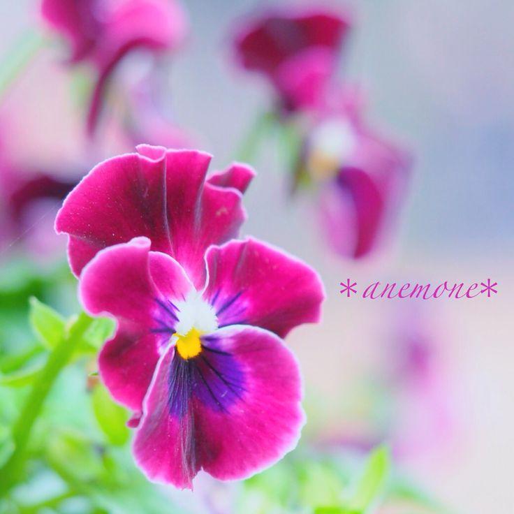 #パンジー#pansy#ビオラ#viola#flower