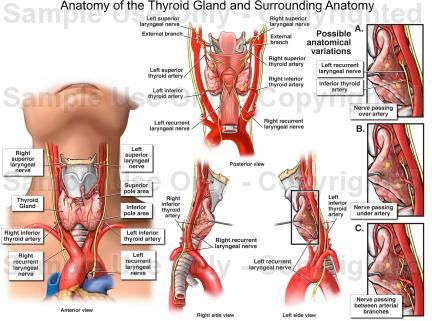 115 best images about anatomy and physiology on pinterest, Muscles