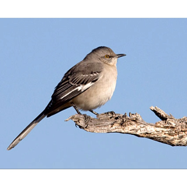 best mockingbirds images beautiful birds the  northern mockingbird identification all about birds cornell lab of ornithology