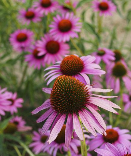Coneflower (Echinacea) | Two experts share their favorite drought-tolerant plants that will make your life easier (and help you save water)!
