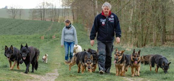 Schaferhunde Als Rudel Beim Spaziergang Schaferhund Welpen Welpen Schaferhunde