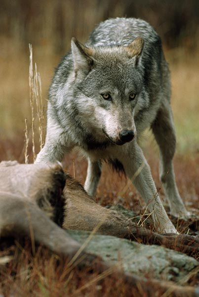 Wolf | Gray wolves hunting