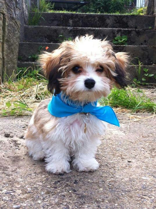 43 Best Images About Cavachon On Pinterest Happy Dogs