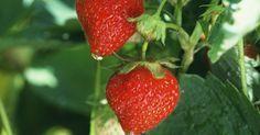 La planta de la fresa alpina es el tipo que más se cultiva a partir de las semillas. Una vez que pruebes las fresas frescas, te darás cuenta de que vale la pena cultivarlas en ...