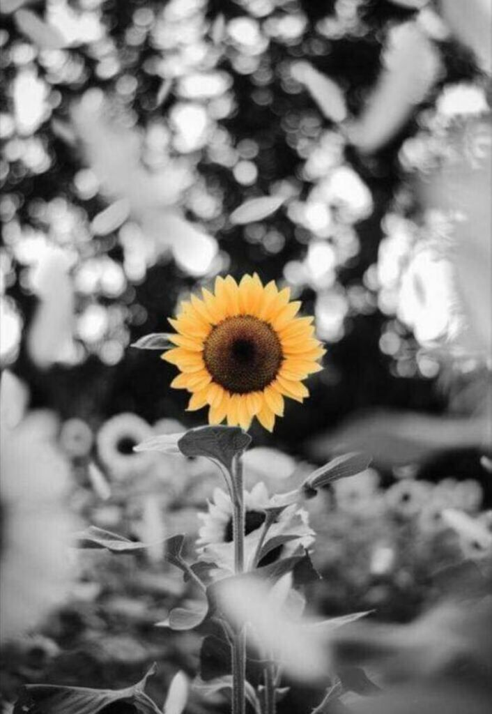 My One And Only Sunflower Samantha Sunflower Wallpaper Sunflower Pictures Sunflower Painting